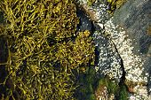 stock photo of hydrophytes  - Aquatic vegetation on the beach during low tide - JPG