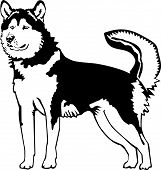 Black And White Alaskan Malamute