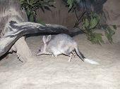 Australian bilby