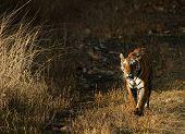 The Tiger Comes.