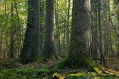Old Spruces In Natural Forest