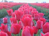 Closeup Of The Tulip Fields Of Skagit County Washington