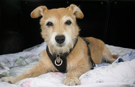 picture of legs apart  - Cute pet Jack Russell  - JPG