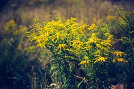 picture of goldenrod  - Vintage photo of beautiful yellow goldenrod flowers blooming - JPG
