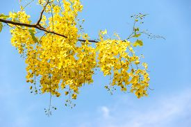 pic of cassia  - Purging cassia is a national tree - JPG