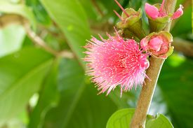 picture of malay  - Pomerac flower on the treeMalay apple Malay rose apple flower - JPG