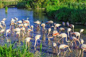 image of pink flamingos  - Large flock of pink flamingos - JPG