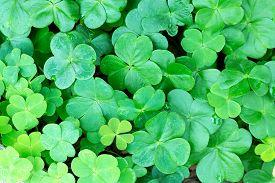 pic of irish moss  - Close - JPG