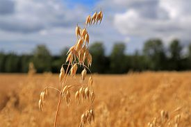 stock photo of oats  - Close up of one ripe Oat or Common Oat plant - JPG