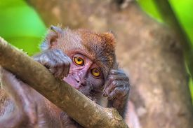 stock photo of macaque  - Portrait of sad monkey with bright yellow eyes looking in camera - JPG