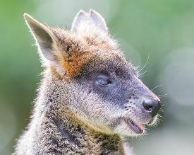 foto of wallabies  - Kangaroo - JPG