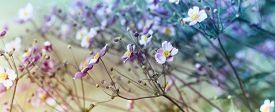 picture of windflowers  - Japanese Anemone (windflower)  - JPG