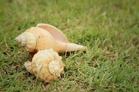 image of conch  - conch shell on a background of green grass. ** Note: Shallow depth of field - JPG