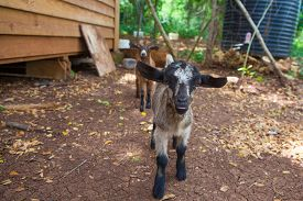 image of baby goat  - Two little baby goats on the farm - JPG