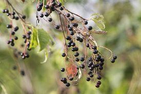 pic of black-cherry  - bunches of ripe black fruits of bird cherry - JPG