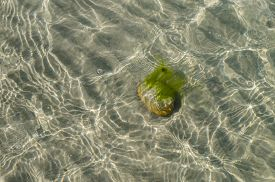picture of algae  - Stone with alga at the sandy bottom of sea view through transparent water - JPG