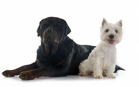picture of westie  - west highland terrier and rottweiler in front of white background - JPG