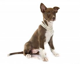 image of collier  - puppy border collier in front of white background - JPG