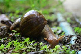 picture of garden snail  - snail walks on wooden plates in a garden - JPG