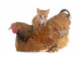 picture of brahma  - brahma chicken and kitten in front of white background - JPG