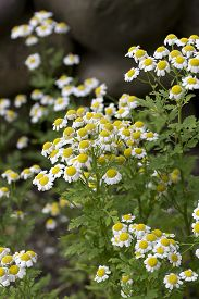 picture of feverfew  - Yellow and white flowers of Tanacetum parthenium  - JPG