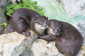 foto of cuddle  - cute pair of otters wet brown otters cuddling  - JPG