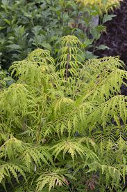 pic of tiger eye  - Cutleaf Sumac bush  - JPG