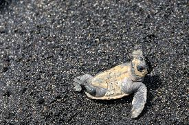 image of claw  - Baby turtle lays on its back flagging its claw as it attempts to flip over itself on a black sand beach - JPG
