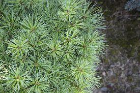 pic of pinus  - Small pine bush and soil  - JPG