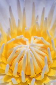 foto of extreme close-up  - extreme close up soft focus lotus flower - JPG
