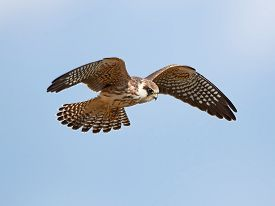 stock photo of falcons  - Red footed falcon in flight with blue skies in the background  - JPG
