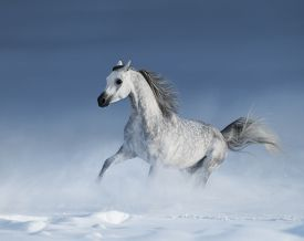 stock photo of dapple-grey  - Purebred grey arabian stallion galloping over meadow in snow - JPG