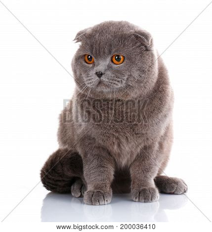 poster of big cat, beautiful cat, purebred cat, fluffy cat, proud cat, gray cat - Big British Shorthair cat portrait on a white background