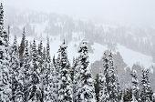 Pine trees in heavy snow