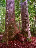 image of australie  - Four Sisters Kauri Trees  - JPG