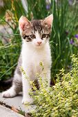 Tabby Kitten With White Chest And Paws In Behind Thyme Plant poster