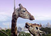 Sydney Giraffes