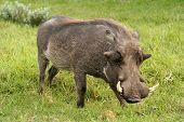 Warthog Boar