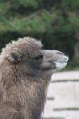 Bactrian Camel - Camelus Bactrianus