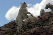Baby Mtn Goats Playing