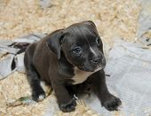Purebred Canine American Bully Puppy