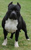 Purebred Canine Gottline Line Dog Posed