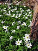 stock photo of windflowers  - Windflowers in spring forest nature in Finland - JPG