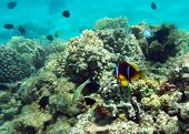 Cinnamon Clown At The Coral Reef