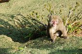 Japanese Macaque Sitting On The Ground