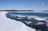 picture of whoopees  - The ice on the sea breaks up and whoopees arrives - JPG