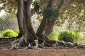 Wurzeln eines Banyan-Baumes