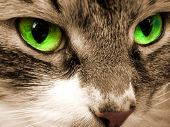Green Eyes Of A Cat.