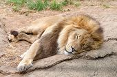 Male Lion Lying On A Rock Shaking Sleeping. Male Lions Spend 18 To 20 Hours A Day Sleeping, And Foll poster