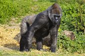 A female western lowland gorilla standing side on facing left